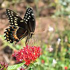 Eastern Tiger Swallowtail by Dawne Dunton