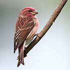 Purple Finch by Gary Fairhead