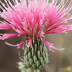 Blooming Arizona Red Thistle   by Jazzy724