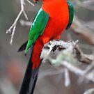 Male King Parrot. Cedar Creek, Queensland, Aust. by Ralph de Zilva