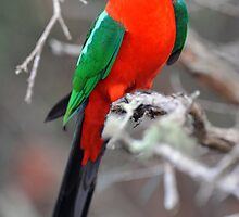 Male King Parrot. Cedar Creek, Queensland, Aust. by Ralph de Zilva