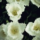 Fuzzy white tulips by rafstardesigns