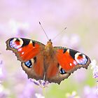 peacock butterfly on lavender by Jicha