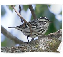 Black and White Warbler Poster