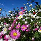 Pink and white everlasting flowers by flips99