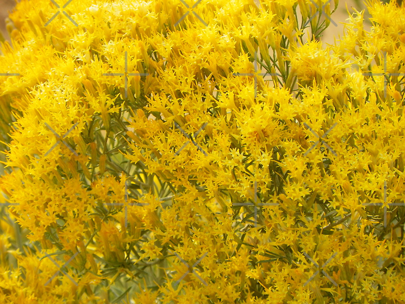 Rabbitbrush by © Betty E Duncan ~ Blue Mountain Blessings Photography