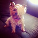 Yorkie with a Combover  by LoveJess