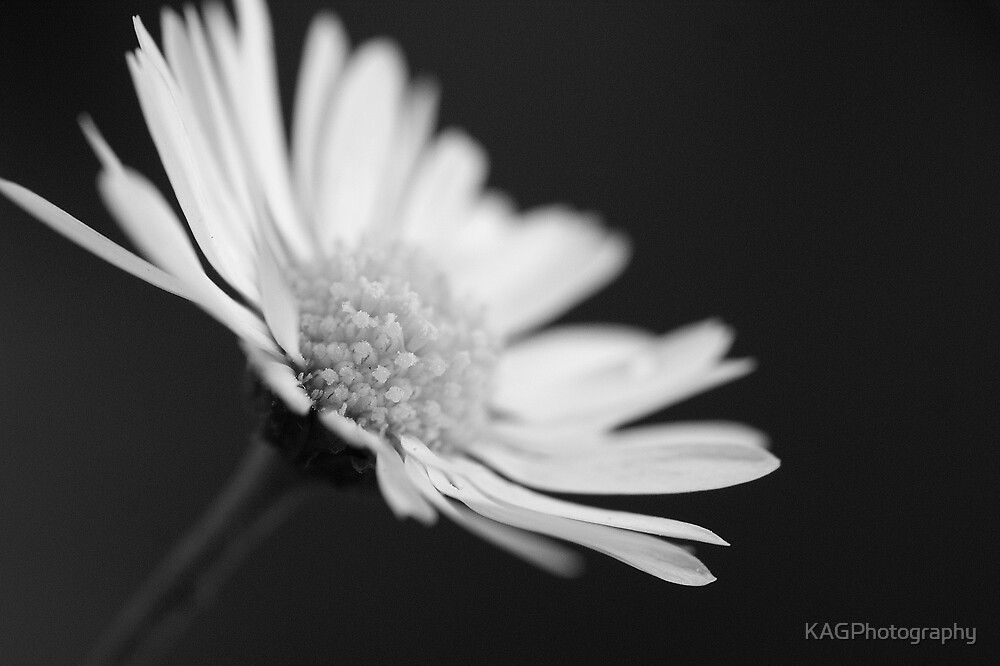 Daisy by KAGPhotography