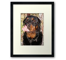 Large Male Rottweiler Licking His Lips Framed Print