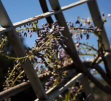 Wisteria by ccr358