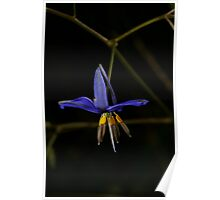 Flax Lily Poster