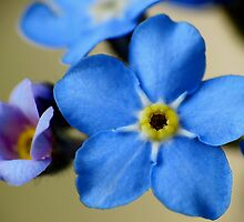 Forget-Me-Nots 11 by photonista