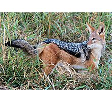 BLACK-BACKED JACKAL – Canis mesomelas – Rooijakkals Photographic Print
