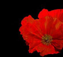 """""""Scarlet Wonders.............."""" by Rosehaven"""