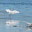 Delicate touch-down, egret, Lago Trasimeno, Umbria, Italy by Andrew Jones