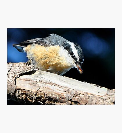 Nuthatch Eating a Termite Photographic Print