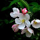 Apple Blossom 3 by mercale