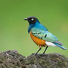 Superb Starling, Loldia, Kenya by Neville Jones