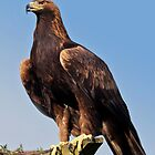 Claws (Golden Eagle) by Krys Bailey