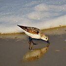 Beach Bird by BeachBumPics