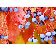 Vibrant Grape Vines Photographic Print