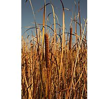 Cat Tails Photographic Print