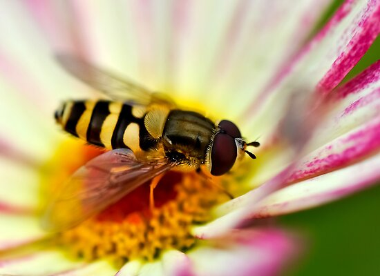 A hoverfly looking for pollen in a flower by marina63