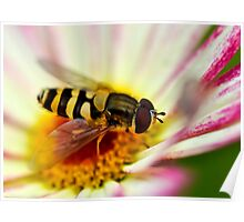 A hoverfly looking for pollen in a flower Poster