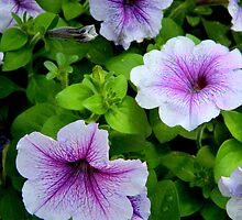 Petunia Power  ^ by ctheworld