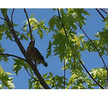 Resident Baby Robin 2 Photographic Print