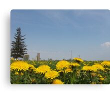 Country Dandelion Field Canvas Print