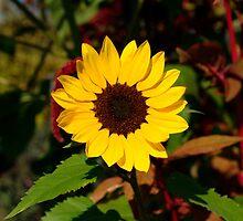 Sunflower in Vermont - 02 by mricci