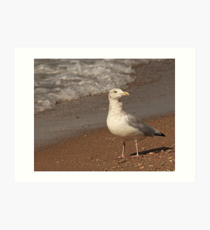 Herring Gull ~ Art Print