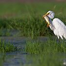 Great Egret with breakfast by Bryan  Keil