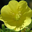 Evening Primrose Up Close by Ron Russell