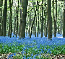 Spring in bluebell wood by Goldendays