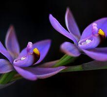 Thelymitra purpurata by andrachne
