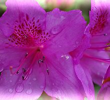 Azalea. by Bette Devine