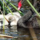New Cygnets 3 by Paul Todd