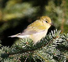 Pine Warbler by Dennis Cheeseman