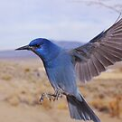 Pinion Jay in flight by SB  Sullivan