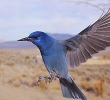Pinion Jay in flight by SB  Sullivan