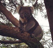 A smiling Auzzie Koala by BrentonPark