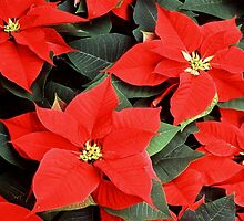 Beautiful Red Poinsettia Christmas Flowers by taiche