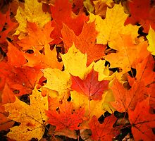 Pile of Colorful Maple Leaves by Chantal PhotoPix