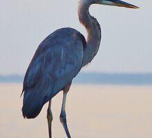 Blue Heron by BeachBumPics