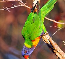 Acrobatic Rainbow Lorikeet. Cedar Creek, Qld, Australia. (2) by Ralph de Zilva