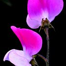 'Sweet Pee' Flowers by photoj