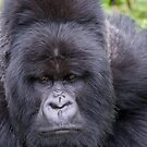 Mountain Gorilla, Rwanda by Neville Jones