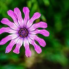 Pink Daisy by Kate Halpin